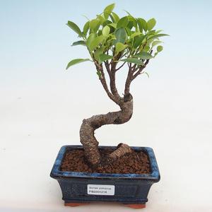 Izbová bonsai - Ficus kimmen - malolistá fikus PB2191218