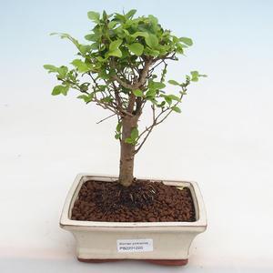 Izbová bonsai - Ficus kimmen - malolistá fikus PB2191220