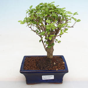 Izbová bonsai - Fraxinus angustifolia - izbový Jaseň PB2191221