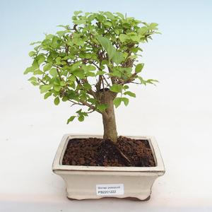 Izbová bonsai - Fraxinus angustifolia - izbový Jaseň PB2191222