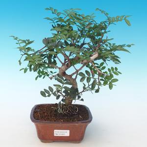Pokojová bonsai-Pistácie PB2191223