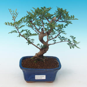 Pokojová bonsai-Pistácie PB2191224