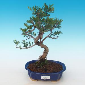 Pokojová bonsai-Pistácie PB2191225