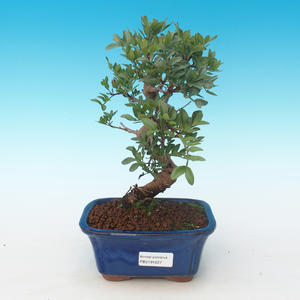 Pokojová bonsai-Pistácie PB2191227