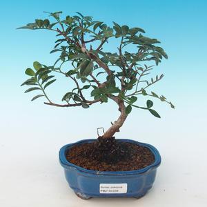 Pokojová bonsai-Pistácie PB2191228