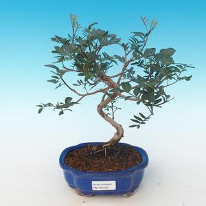 Pokojová bonsai-Pistácie PB2191229