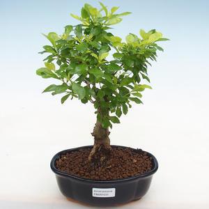 Pokojová bonsai-Pistácie PB2191231