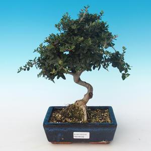 Pokojová bonsai - Olea europaea sylvestris -Oliva evropská drobnolistá PB2191232