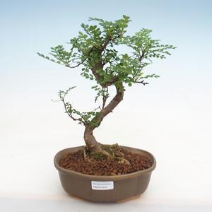 Pokojová bonsai - Olea europaea sylvestris -Oliva evropská drobnolistá PB2191234