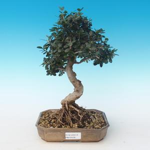 Pokojová bonsai - Olea europaea sylvestris -Oliva evropská drobnolistá PB2191235