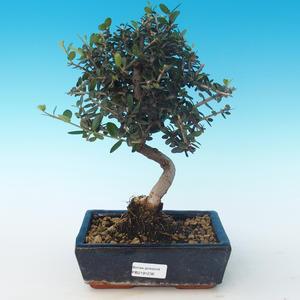 Pokojová bonsai - Olea europaea sylvestris -Oliva evropská drobnolistá PB2191236