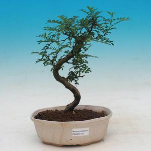 Venkovní bonsai -Mochna křovitá - Potentilla fruticosa