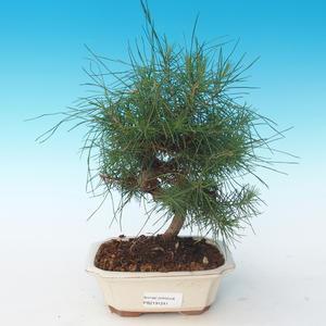 Pokojová bonsai-Pinus halepensis-Borovice alepská 405-PB2191241
