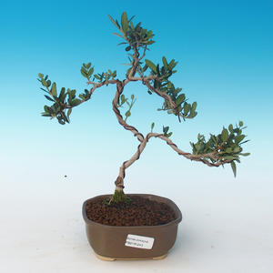 Pokojová bonsai - Olea europaea sylvestris -Oliva evropská drobnolistá PB2191243