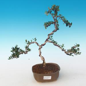 Pokojová bonsai - Olea europaea sylvestris -Oliva evropská drobnolistá PB2191244