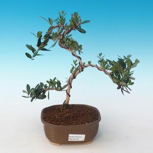 Pokojová bonsai - Olea europaea sylvestris -Oliva evropská drobnolistá PB2191245