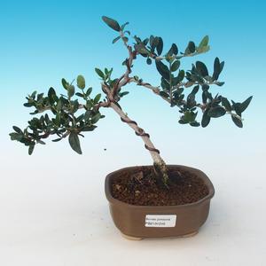 Pokojová bonsai - Olea europaea sylvestris -Oliva evropská drobnolistá PB2191246