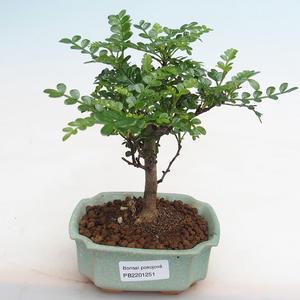 Pokojová bonsai - Ulmus parvifolia - Malolistý jilm 405-PB2191251