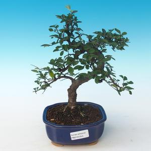 Pokojová bonsai - Ulmus parvifolia - Malolistý jilm 405-PB2191253
