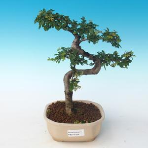 Pokojová bonsai - Ulmus parvifolia - Malolistý jilm 405-PB2191254