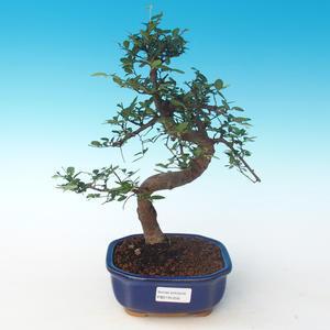 Pokojová bonsai - Ulmus parvifolia - Malolistý jilm 405-PB2191256