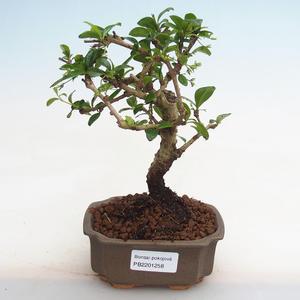 Pokojová bonsai - Serissa foetida Variegata - Strom tisíce hvězd PB2191258