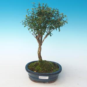 Pokojová bonsai - Serissa foetida Variegata - Strom tisíce hvězd PB2191261