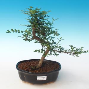 Pokojová bonsai - Zantoxylum piperitum - Pepřovník PB2191263