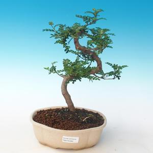 Pokojová bonsai - Zantoxylum piperitum - Pepřovník PB2191265