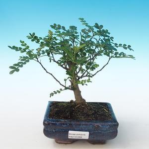 Pokojová bonsai - Zantoxylum piperitum - Pepřovník PB2191268