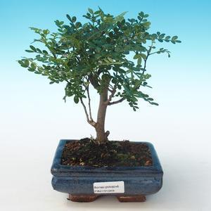 Pokojová bonsai - Zantoxylum piperitum - Pepřovník PB2191269