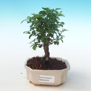 Pokojová bonsai - Sagerécie thea - Sagerécie thea PB2191275