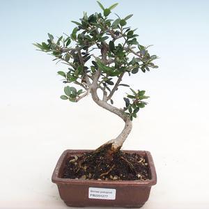 Pokojová bonsai-Ulmus Parvifolia-Malolistý jilm PB2191277