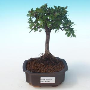 Pokojová bonsai-Ulmus Parvifolia-Malolistý jilm PB2191280
