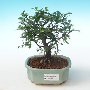Pokojová bonsai-Ulmus Parvifolia-Malolistý jilm PB2191281