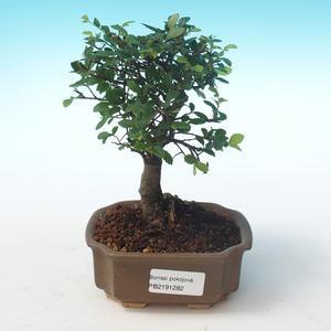 Pokojová bonsai-Ulmus Parvifolia-Malolistý jilm PB2191282