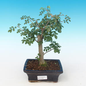 Pokojová bonsai - Fraxinus uhdeii - pokojový Jasan PB2191284