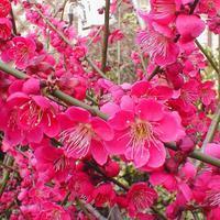 Japonská meruňka - Prunus Mume