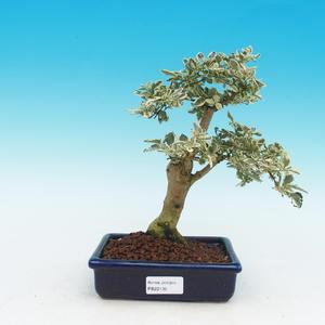 Pokojová bonsai -Ligustrum   variegata  - Ptačí zob PB216852