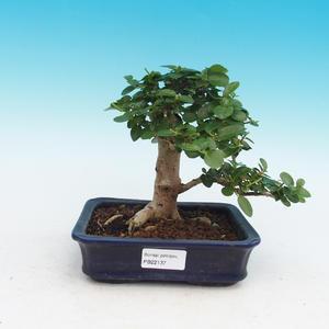Pokojová bonsai - PREMNA MICROPHYLLA  - Kozlovoň malolistá