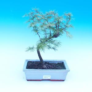 Venkovní bonsai - Pamodřín - Pseudolarix amabis