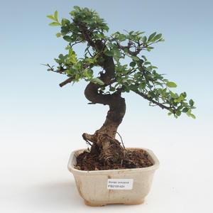 Pokojová bonsai - Ulmus parvifolia - Malolistý jilm PB2191424