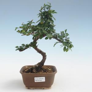 Pokojová bonsai - Ulmus parvifolia - Malolistý jilm PB2191425