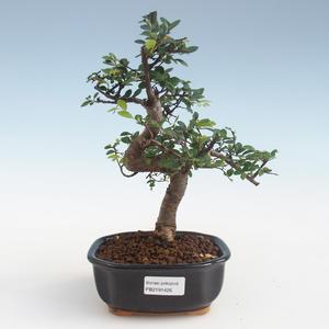 Pokojová bonsai - Ulmus parvifolia - Malolistý jilm PB2191426