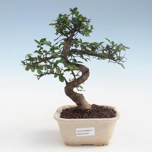 Pokojová bonsai - Ulmus parvifolia - Malolistý jilm PB2191427