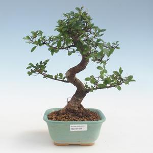 Pokojová bonsai - Ulmus parvifolia - Malolistý jilm PB2191429