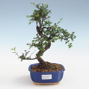 Pokojová bonsai - Ulmus parvifolia - Malolistý jilm PB2191430