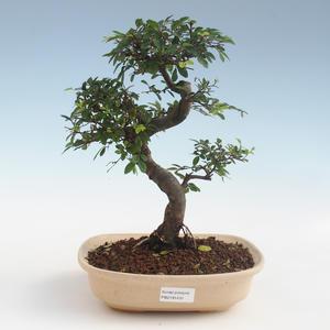 Pokojová bonsai - Ulmus parvifolia - Malolistý jilm 2191431