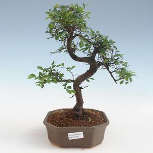 Pokojová bonsai - Ulmus parvifolia - Malolistý jilm 2191433