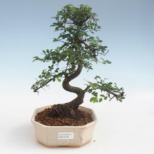 Pokojová bonsai - Ulmus parvifolia - Malolistý jilm 2191434